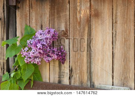 Lilac branch against the background of wooden old boards