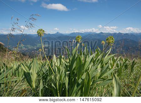 Alpine Leek - Allium Victorialis