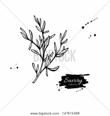 Savory vector hand drawn illustration. Isolated spice object. Engraved style seasoning. Detailed organic product sketch. Cooking flavor ingredient. Great for label, sign, icon