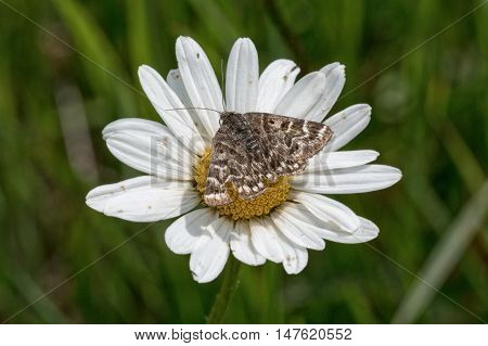 Brown butterfly sitting on a daisy flower