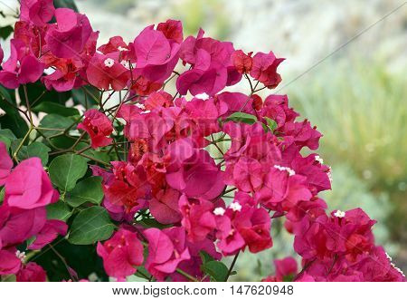 Pink Bougainvillea flowers close up.Selective focus.Blooming bougainvillea.