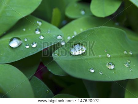Green leaves with water drops for background.Nature texture. Plant texture.