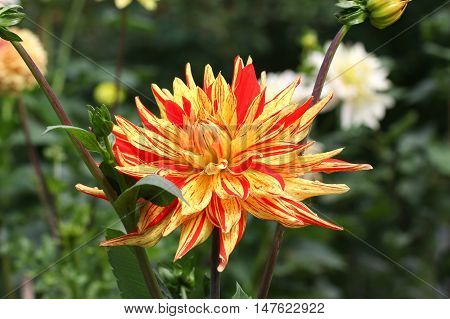 Beautiful yellow red dahlia flower with green leaves.