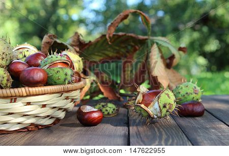 chestnuts with the turned yellow leaves and a wattled basket on a table in a garden