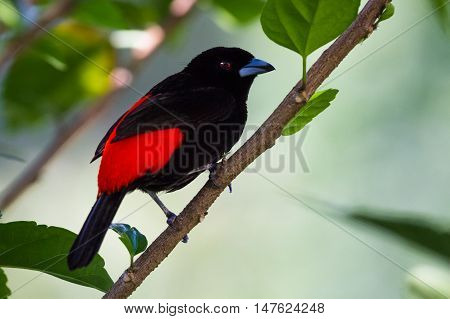 Scarlet Rumped Tanager Or Passerini's Tanager