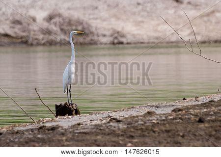 White Crane In Lake Arenal