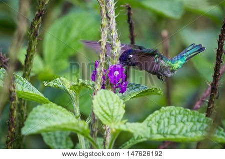 Purple-throated Mountain-gem Feeding On Flowers