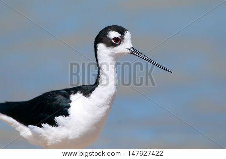 Black-necked Stilt Portraitt, standing in a Marsh. Blue water background. Oregon, USA