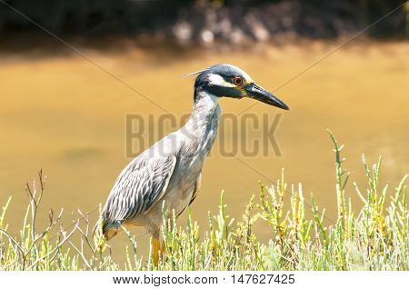 Yellow-crowned Night Heron foraging for food in a marsh, California, USA