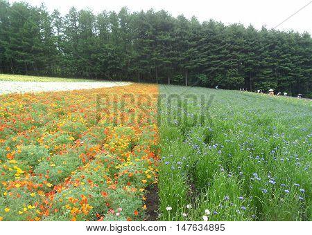 Stunning Landscape of the Flower Field in Hokkaido, Japan