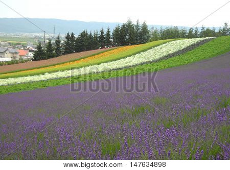 Stunning Landscape and Purple Color of FARM TOMITA in Hokkaido, Japan