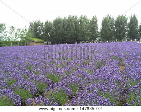 Breathtaking Bright Purple Lavender Field in Hokkaido, Japan