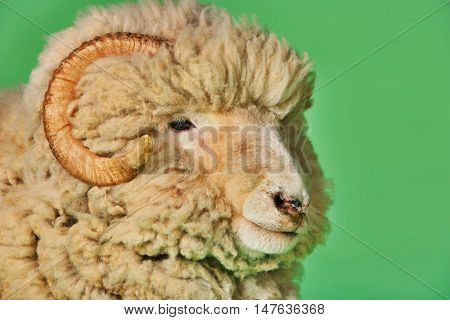 Closeup of ram against green background