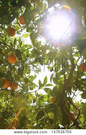 Low angle view of sun shining through orange tree