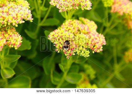 cute furry bumblebee pollinates pink flower and drinks nectar