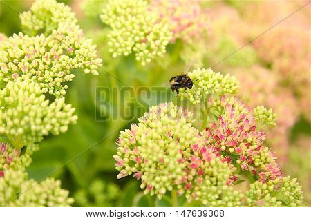 fluffy yellow and black bumble bee pollinates flower and drinking nectar