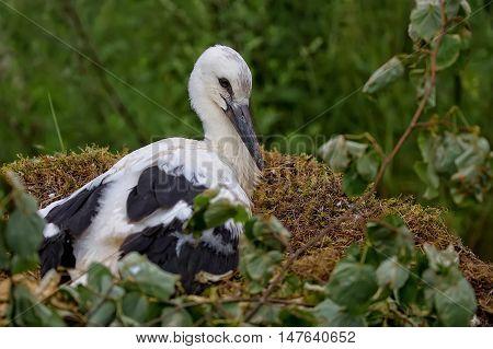 White stork in the nest in the wild