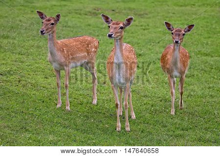 Fallow deers in the wild in a clearing
