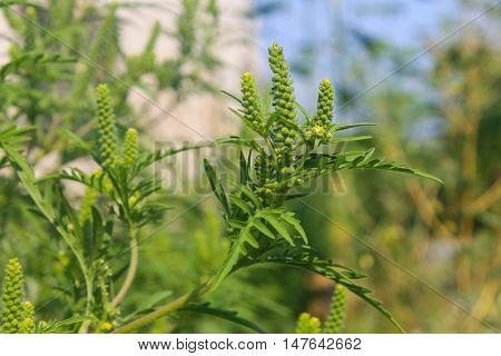 Ragweed flowering plants. Ambrosia artemisiifolia causing allergy