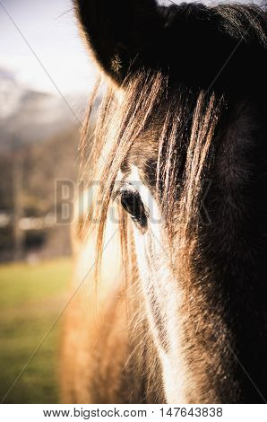 Horse eye. Brown horses muzzle in close-up. Bokeh