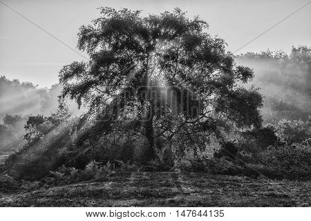 Beautiful Sunrise Landscape Of Sun Beams Shining Through Tree In Black And White