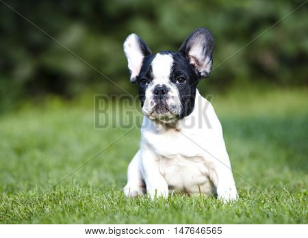 French Bulldog He is sitting on green grass