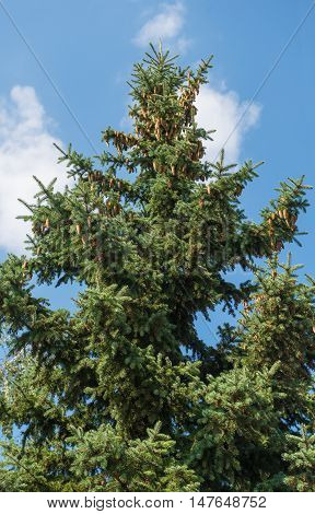 spruce branches with cones on a background of the sky with clouds