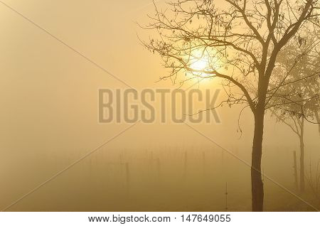 vineyard in autumn at sunset with fog