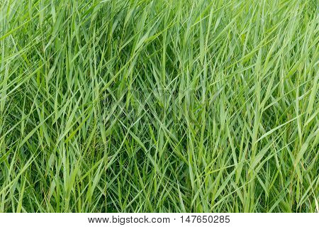 Green reed. Kihnu small island in Estonia. Baltic sea Europe. Natural environment background.