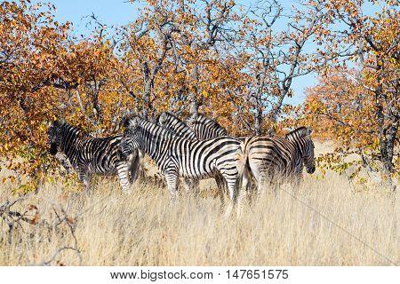 Herd Of Zebras In The Bush. Wildlife Safari In The Kruger National Park, Major Travel Destination In