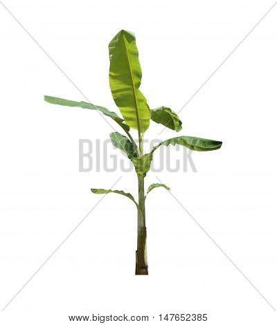 banana tree isolated on white background and have clipping paths.
