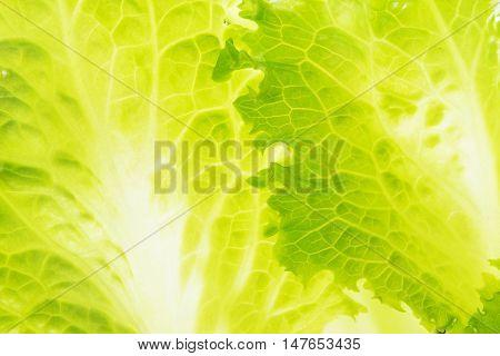Close up of fresh lettuce leaves. Green salad background.