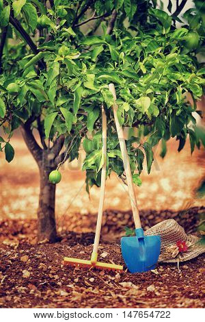 Gardening tools, rake and shovel near lemon tree, cultivation of fruits, organic nutrition in the countryside, work on the soil