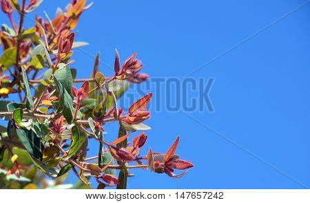 New red hairy foliage of the Australian Dwarf Apple tree Angophora hispida against a clear blue sky