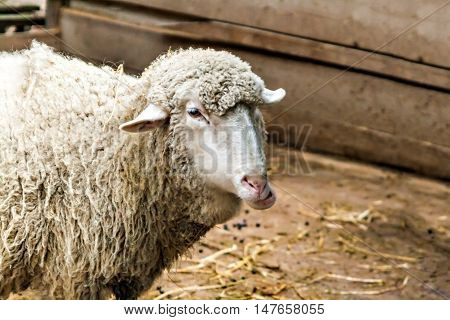 Head Of Sheep In A Pen Close-up