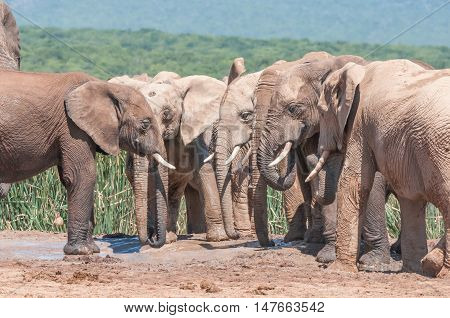 A congregation of mud covered elephants next to a waterhole