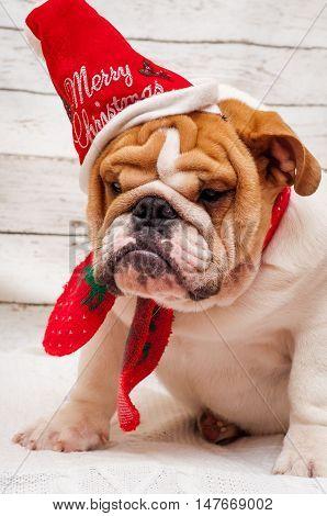english bulldog in santa claus hat. Christmas card - dog in a hat