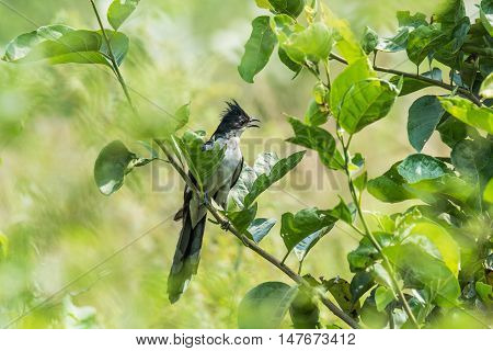 Jacobin Cuckoo perched in stem. Isolated green background.