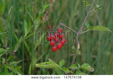 Red berries in the undergrowth in Hainault Forrest