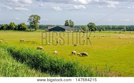 Rustic image of sheep grazing in a meadow with yellowed grass at the edge of a ditch. In the background a modern barn is visible.