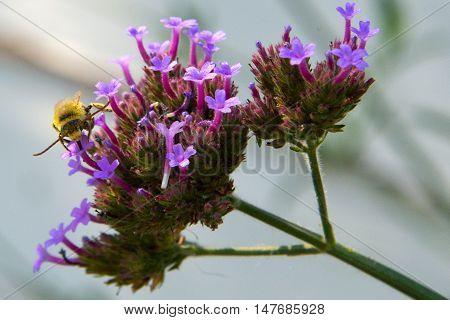 Honeybee collecting nectar from a purple Verbena bonariensis (purpletop vervain).