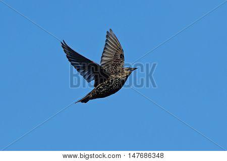 Common starling (Sturnus vulgaris) in flight with blue skies in the background
