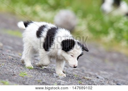 Small Border Collie Puppy On A Farm