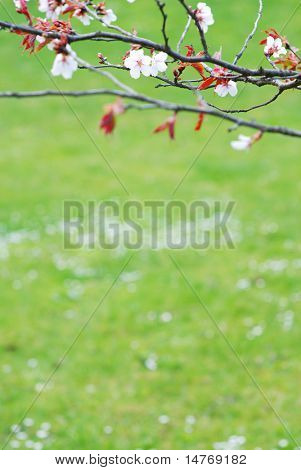 Sakura spring blossoms with huge copy-space, shallow DOF