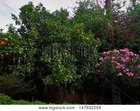 in a garden with an orange tree orange fruit and bush with pink flowers