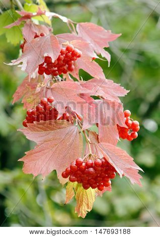 Viburnum bush branch with reddened leaves and berries (autumn coming)