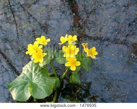 Marsh Marigold In Water