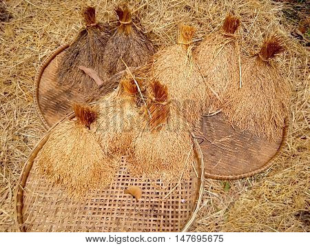 Thai Rice on threshing basket for background and Illustrate