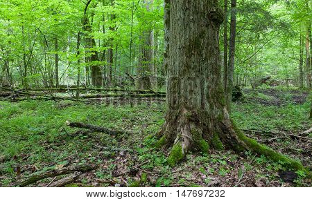 Monumental oak tree of deciduous stand in misty morning, Bialowieza Forest, Poland, Europe