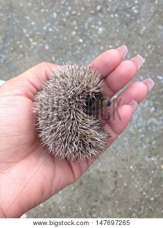 Photograph of baby hedgehog in female hand